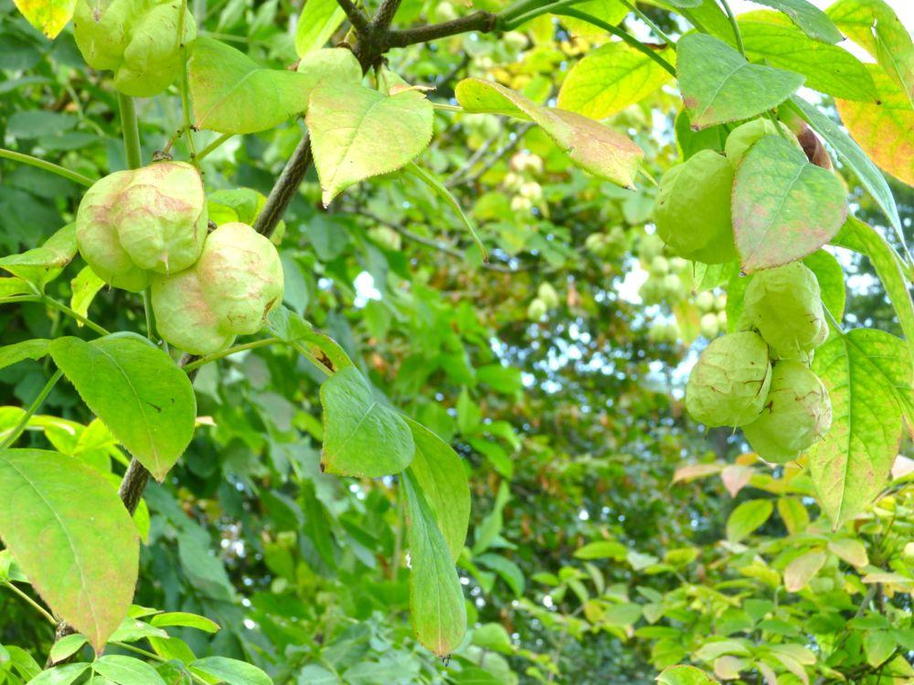 Auf Bösegg bei Willisau wächst die Pimpernuss, eine botanische Rarität. (© Judith Rickenbach)