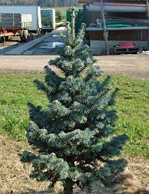 Ein Exot unter den Weihnachtsbäumen: Die Felsentanne ist als Christbaum noch unbekannt.