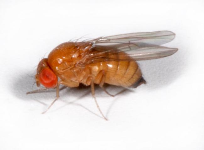 Die Kirschessigfliege, Drosophila suzukii. (Bild: Wikipedia)