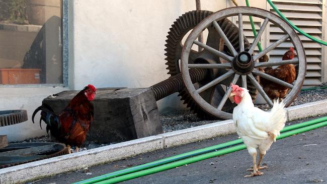Bio-Idylle auf dem Haldihof: Hühner gackern, Vögel zwitschern, Bienen summen und Alpakas schmatzen.
