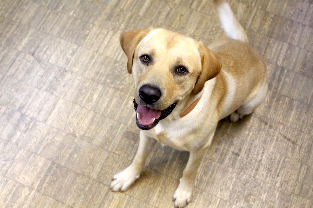Weil sein Herrchen krank wurde, musste der Labrador-Rüde Tilo ins Tierheim gebracht werden. (Bild: zVg)