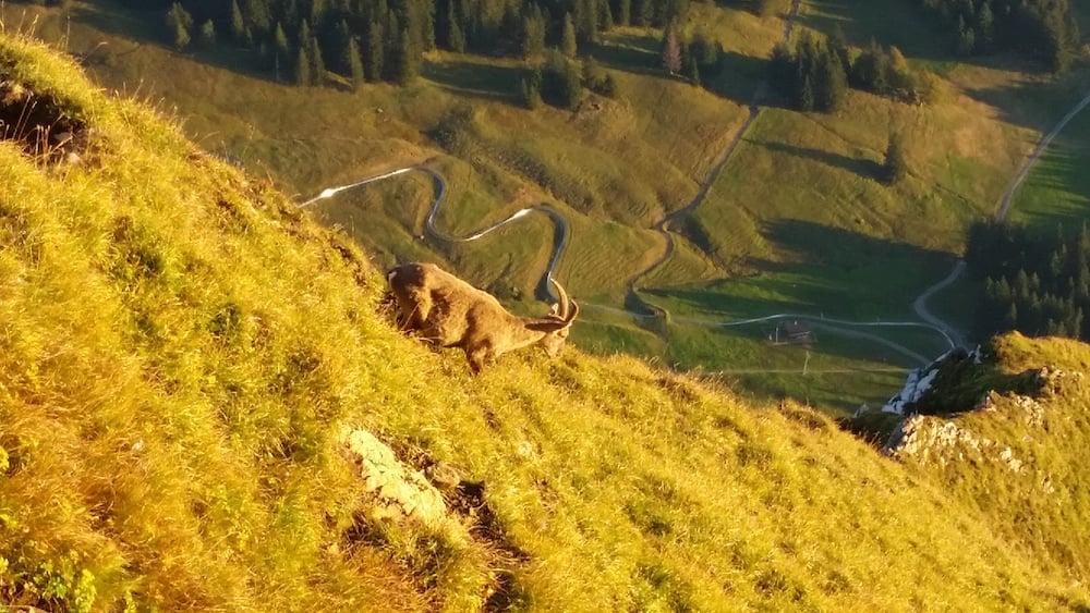 Ein Steinbock klettert am frühen Morgen direkt unterhalb von Pilatus Kulm (Bild: Luca Wolf).