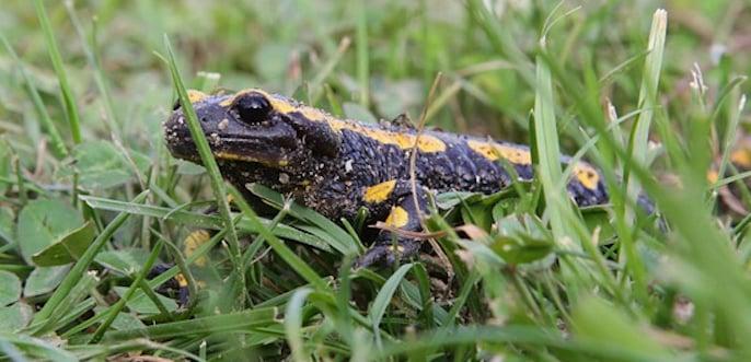 Feuersalamander (Bild: zvg. Umweltberatung öko-forum)
