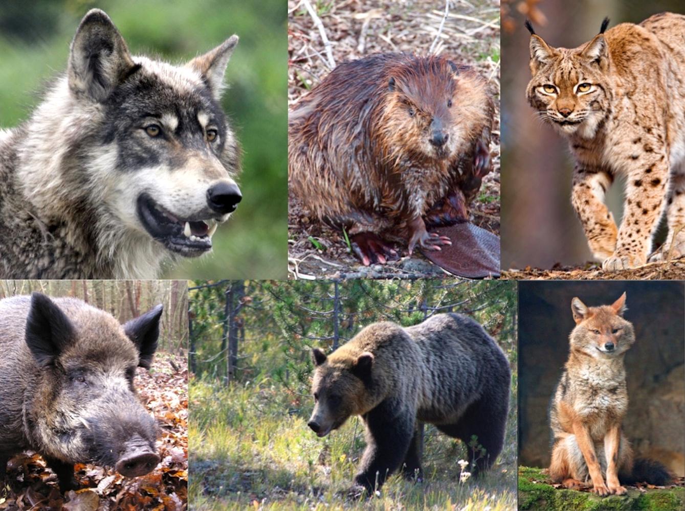 Sind schon da oder werden erwartet: Wolf (oben links), Biber, Luchs, Wildschwein, Bär und Goldschakal.