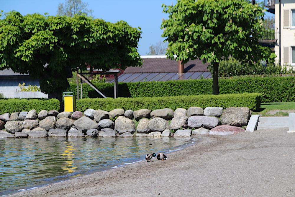 Vorerst die eizigen Badegäste: Zwei Enten beim Strandbad.