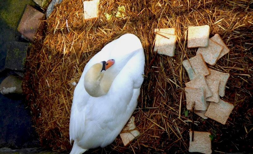 Vor rund einer Woche hatte der Schwan vergammeltes Brot in seinem Nest.