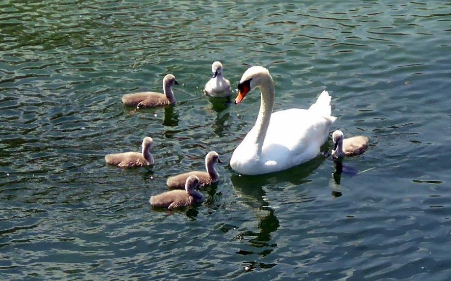 So sieht eine glückliche Schwan-Familie aus.