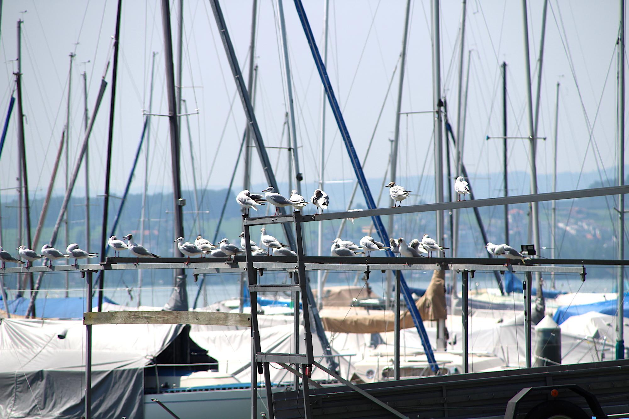 Zaungäste: Auch den Möwen von der benachbarten Marina gefällt die beschauliche Atmosphäre in der Zuger «Männerbadi».