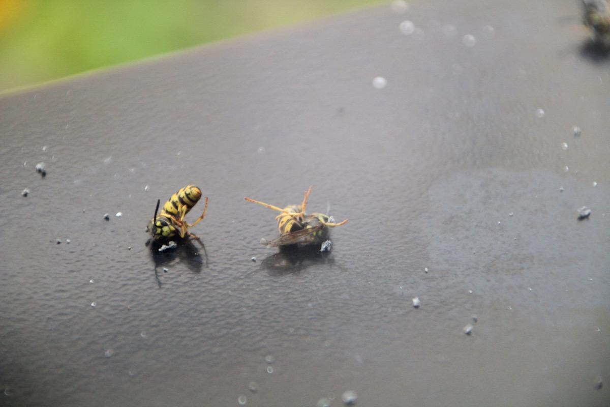 Für die Wespen endet der menschliche Einsatz tödlich.
