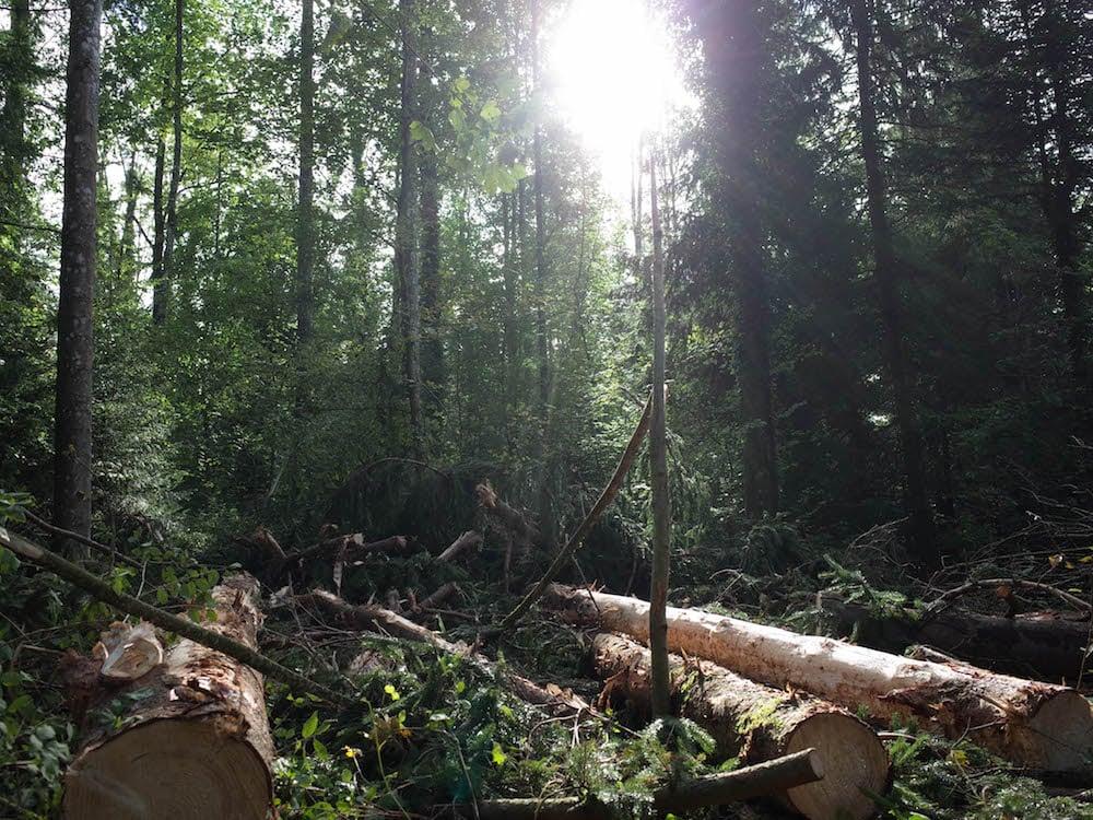 243 Bäume aus dem Steinhauser Wald werden für den Bau des Steinhauser Kindergarten Hasenberg verwendet.