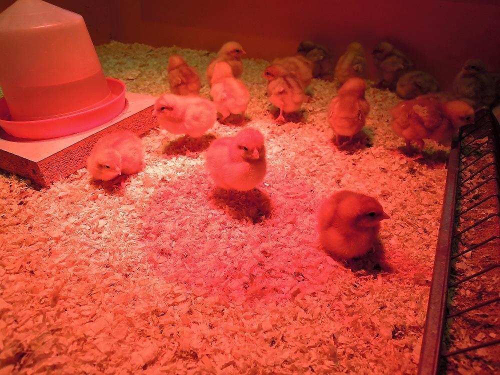 Alle Jahre wieder: Die Osterküken im Natur-Museum sind eine feste Tradition.