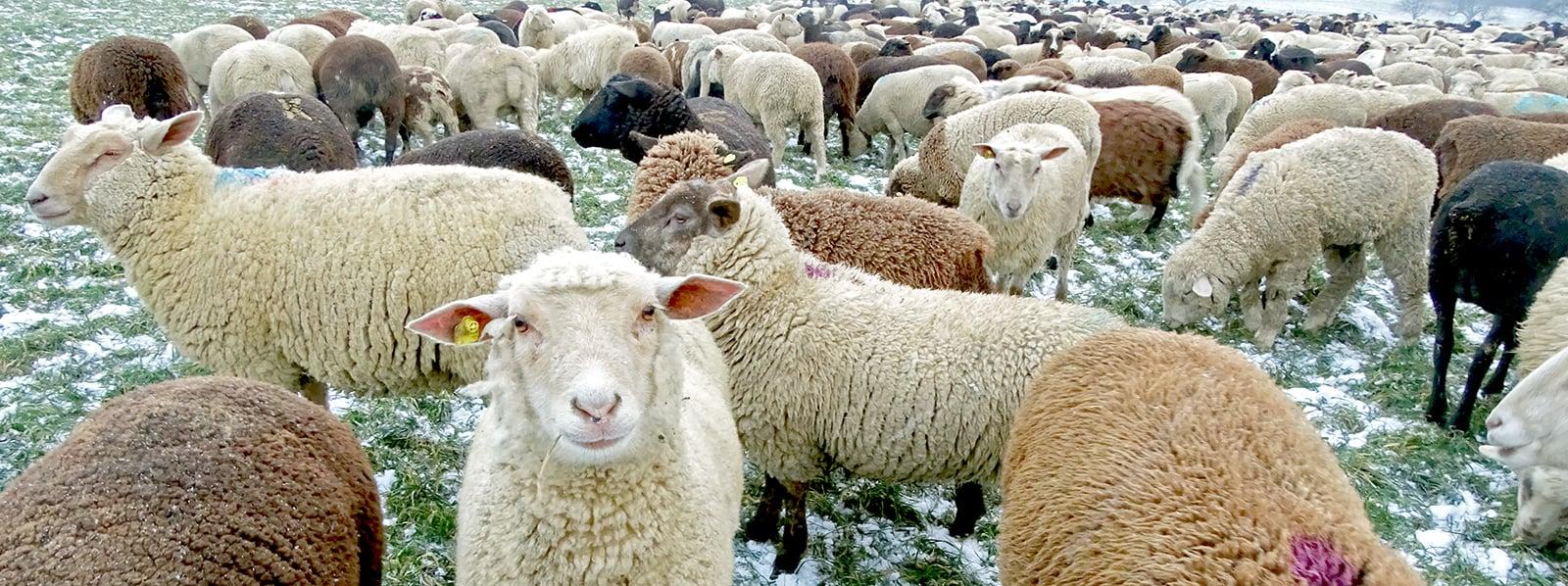 «Sie wissen, dass ich Gras für sie suche», sagt Cadenazzi über seine 600 Schafe.