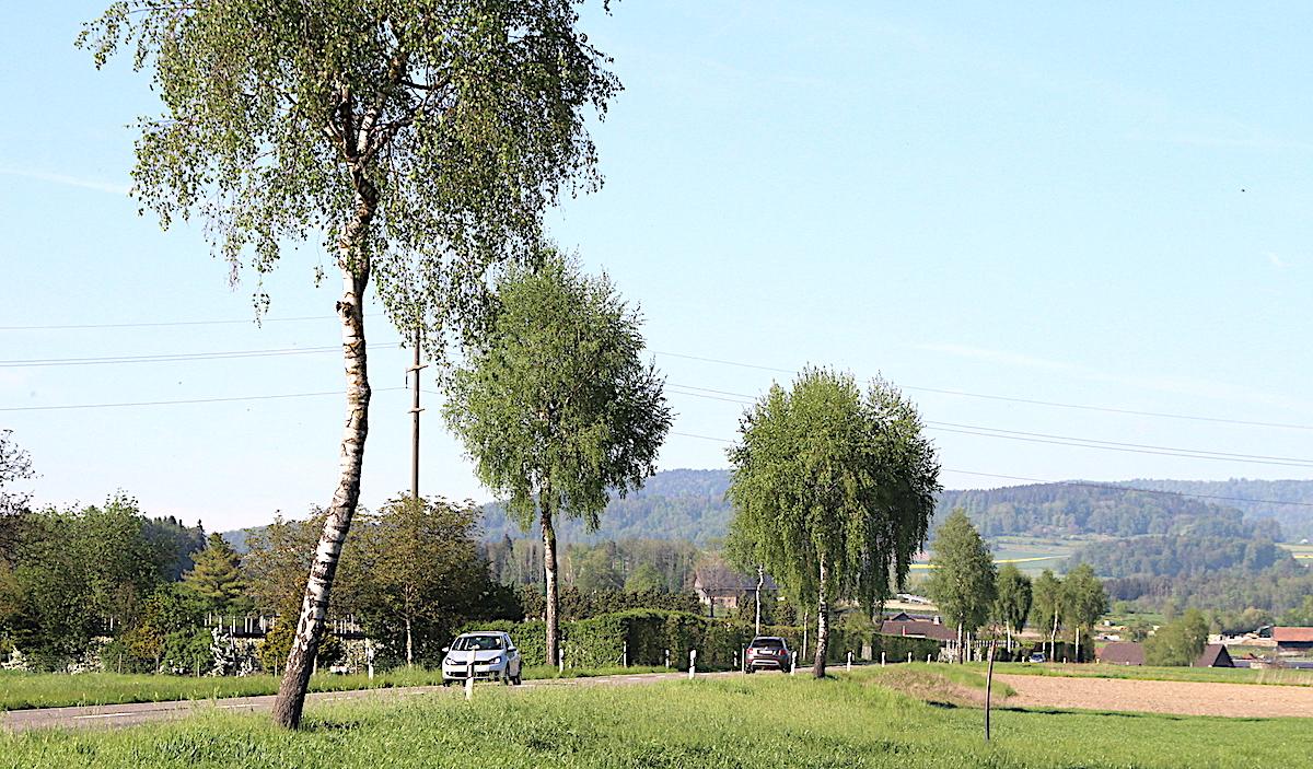 21 Birken, die schon 45 Jahre alt sind, sollen gekappt werden. Die Bäume seien krank und würden den Verkehr gefährden.
