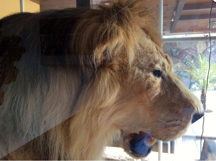 Gut gebrüllt: das ausgestopfte Namenstier des «Löwen» in Sihlbrugg.