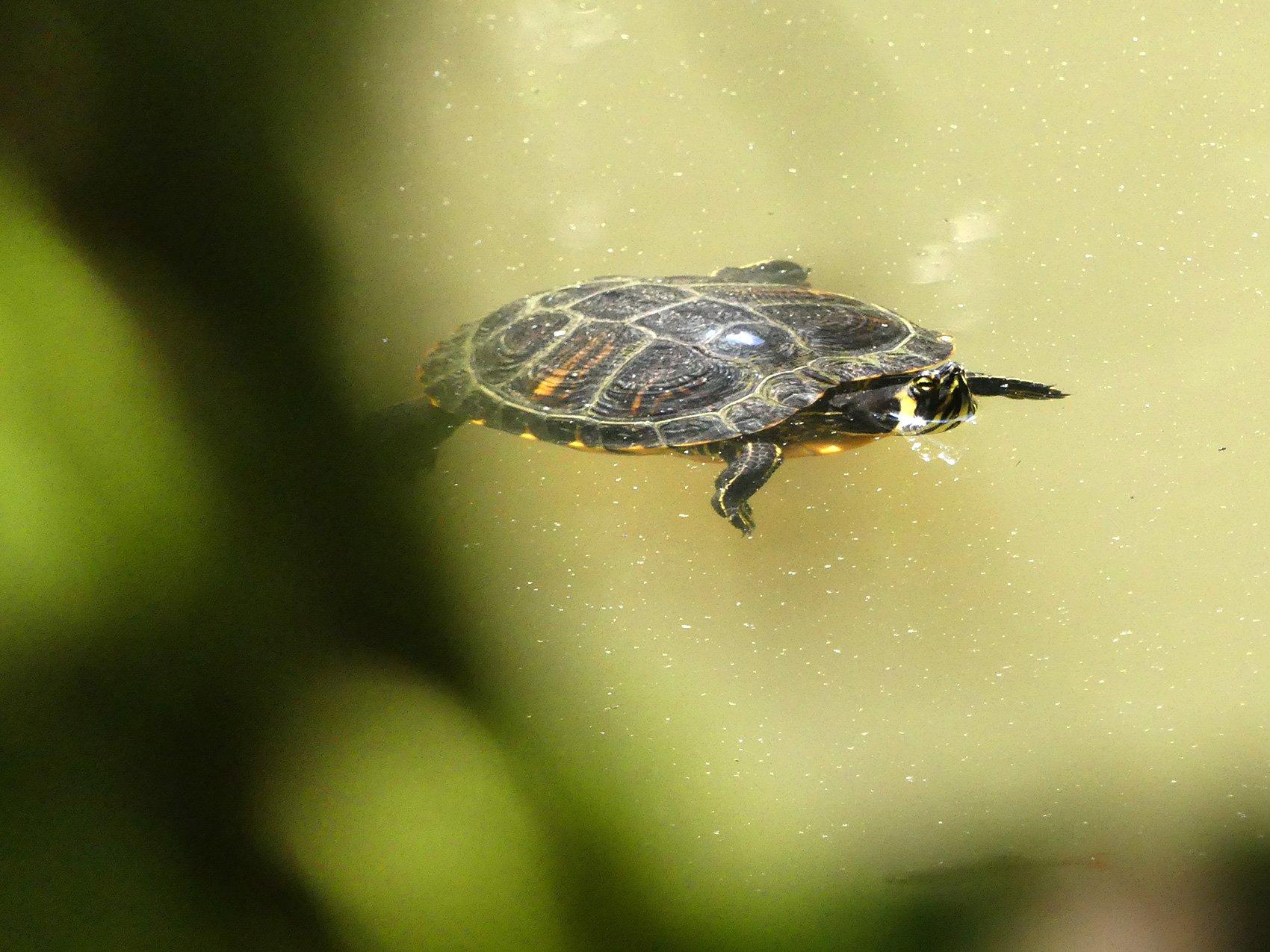 Gehört hier nicht hin: Eine der Nordamerikanische Buchstaben-Schmuckschildkröten im Gütschweiher.