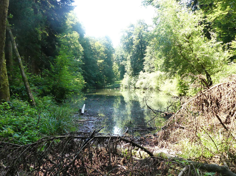 Der Gütschweiher ist ein Naturweiher mitten im Wald und Lebensraum für Frösche, Fische und viele andere Tiere.