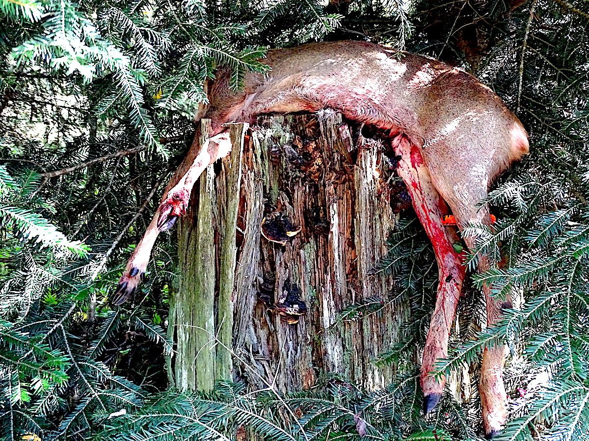 Statt des Bocks schiessen die Jäger ein Kitz, das aus dem Gestrüpp aufschreckt.