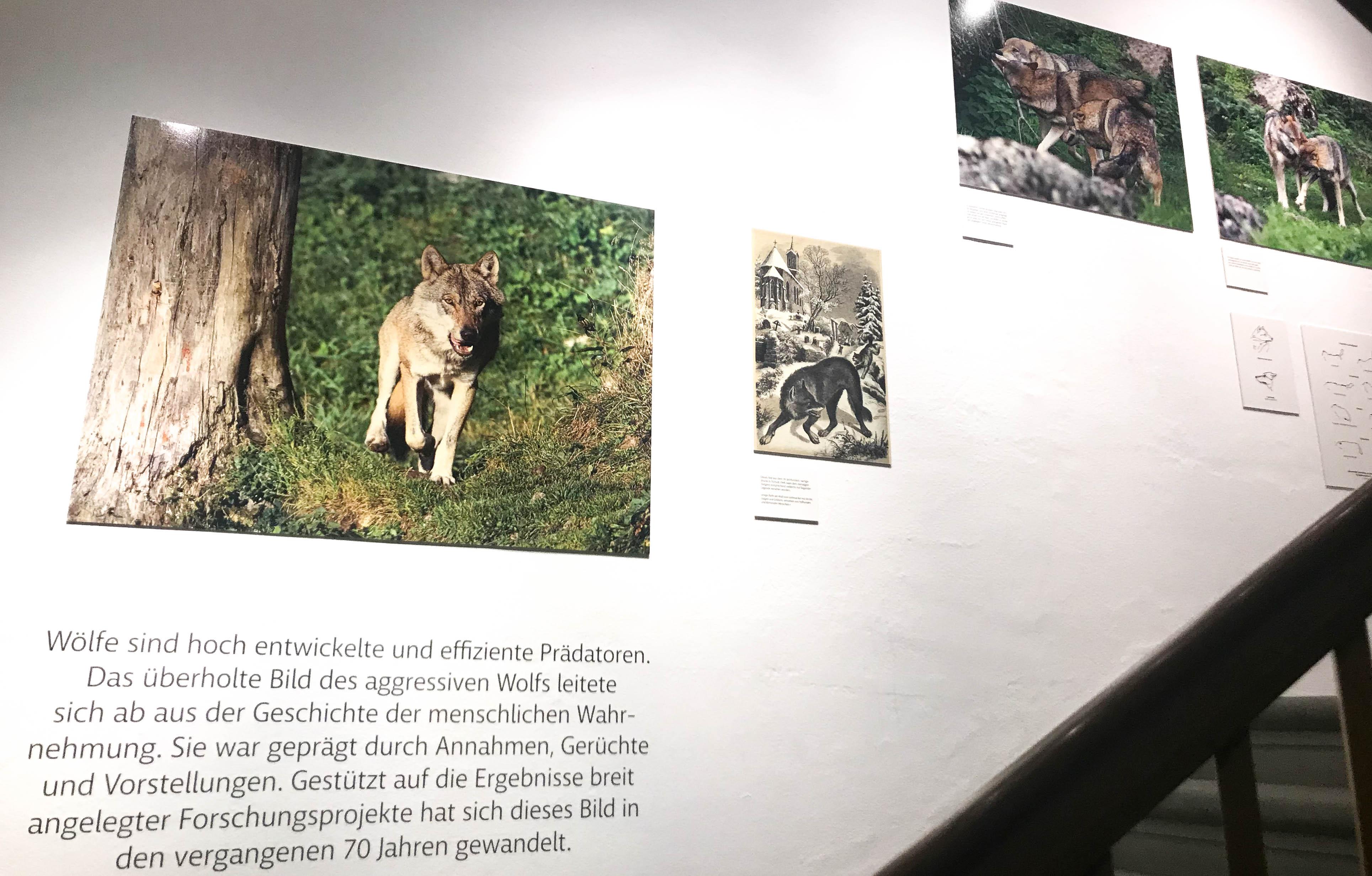 Derzeit ist im Treppenhaus des Natur-Museums Luzern eine Sonderausstellung im Treppenhaus zum Thema «Verhalten des Wolfs» zu sehen.