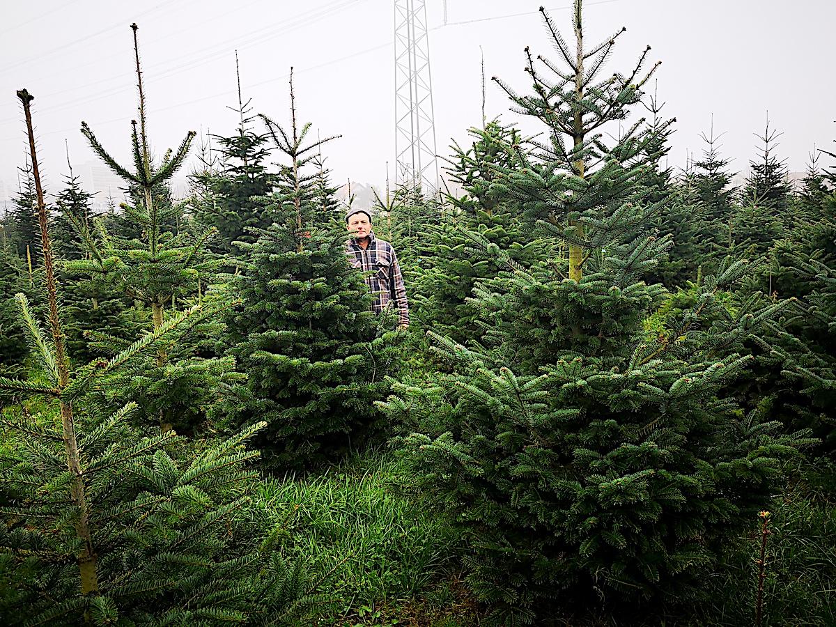 «Ein Männlein steht im Walde» – in der Christbaum-Parzelle an der Tangente bei Inwil.