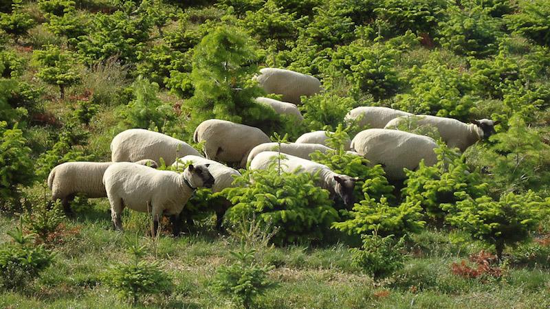 Shropshire-Schafe bei der Arbeit auf einer Plantage.