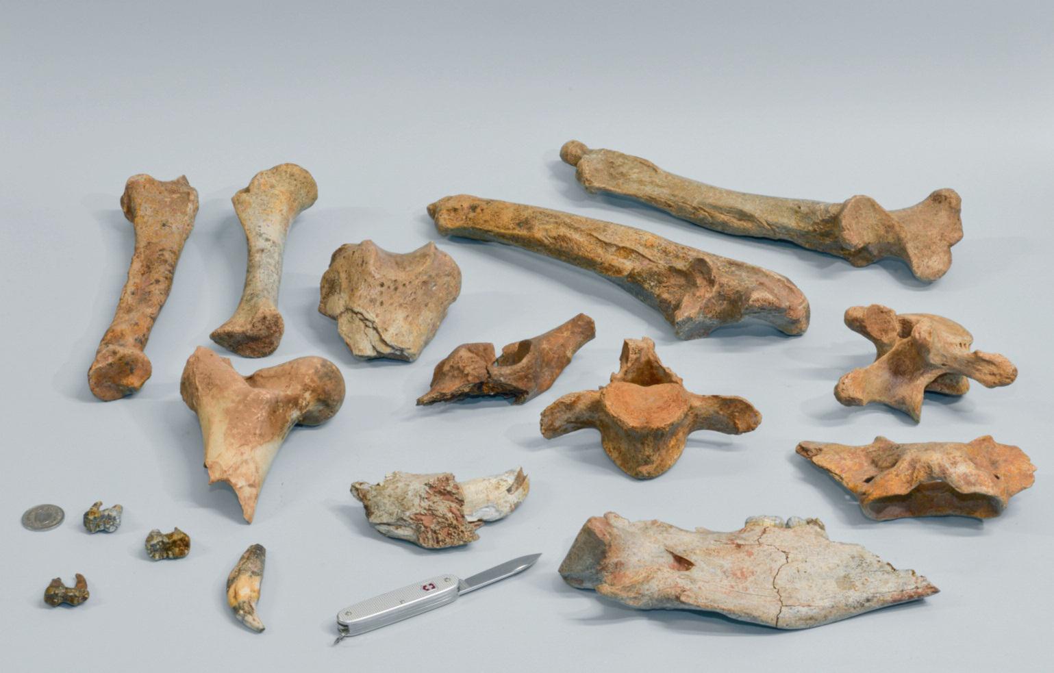 Höhlenbärenkochen aus der Steigelfeldbalm-Höhle bei Vitznau. Die Bären starben eines natürlichen Todes und waren wohl nicht gleichzeitig mit den Neandertalern dort. Bild: Kantonsarchäologie Luzern.