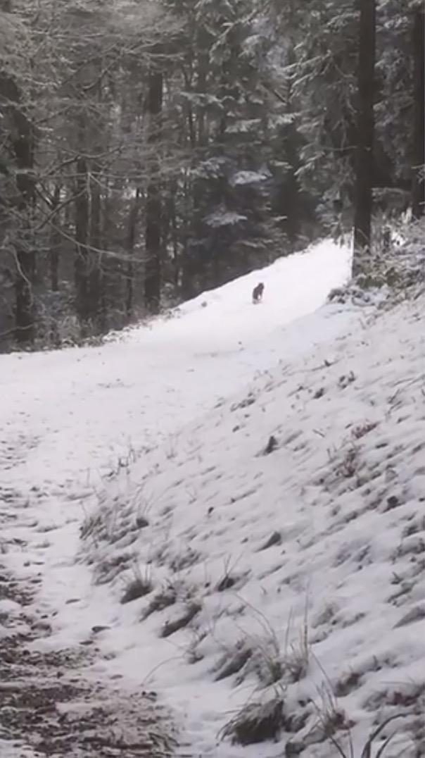 Ist dieses Tier im Menzinger Chnollen tatsächlich ein Wolf?