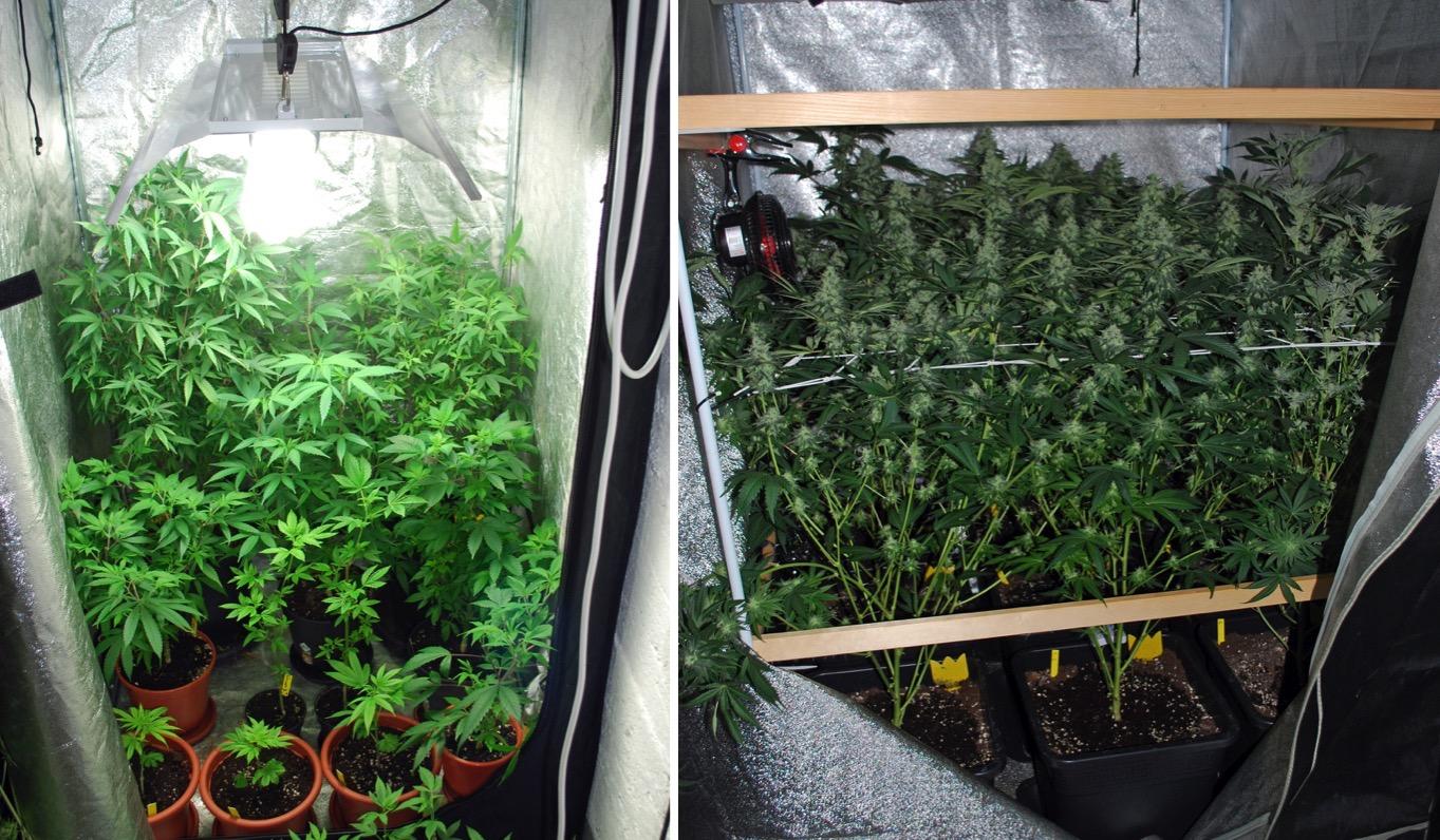 Rund 80 Pflanzen fanden die Polizisten bei dem 40-Jährigen in Nebikon.