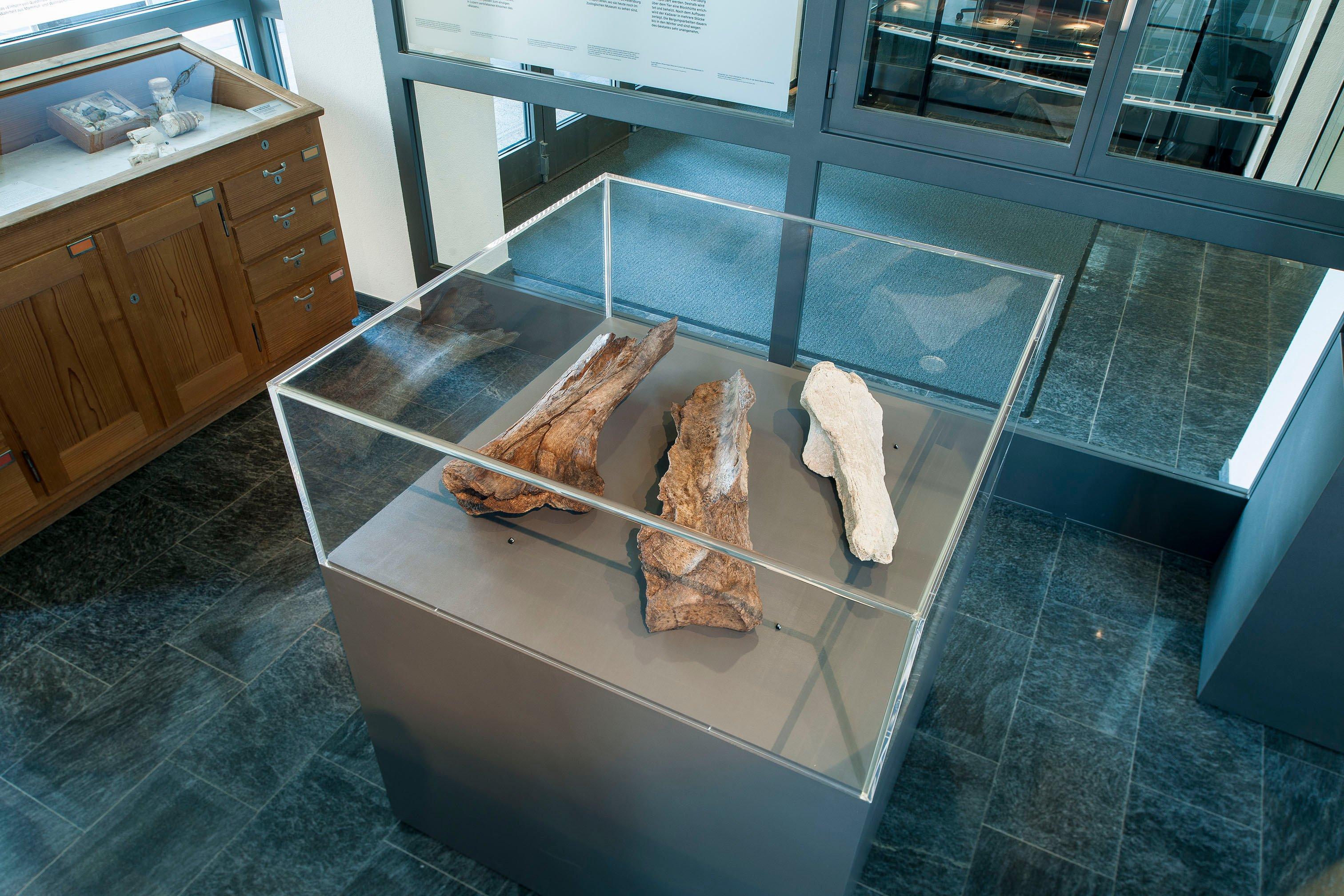 Die Knochen von Reiden, Original und Kopien, Bild: Naturmuseum Luzern.