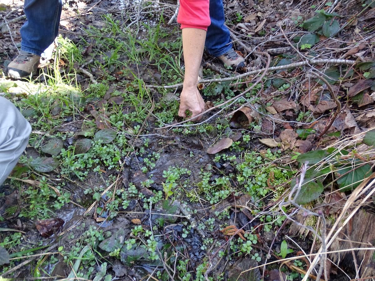 Auf der Suche nach der natürlichen Schärfe: Brunnenkresse eignet sich sehr gut zum Kochen.